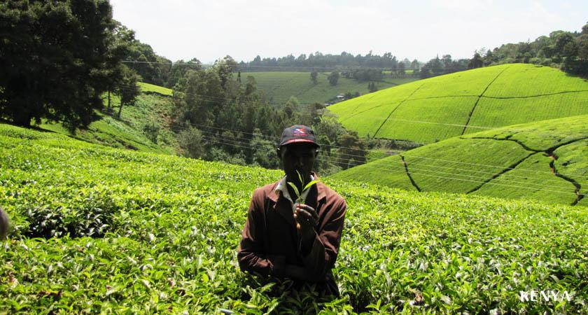 「お茶畑 ケニア」の画像検索結果